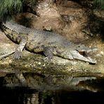 Krokodil am Wasser