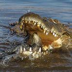 Krokodil beim Fischfang [2]