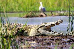 Krokodil I...