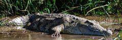 Krokodil II...