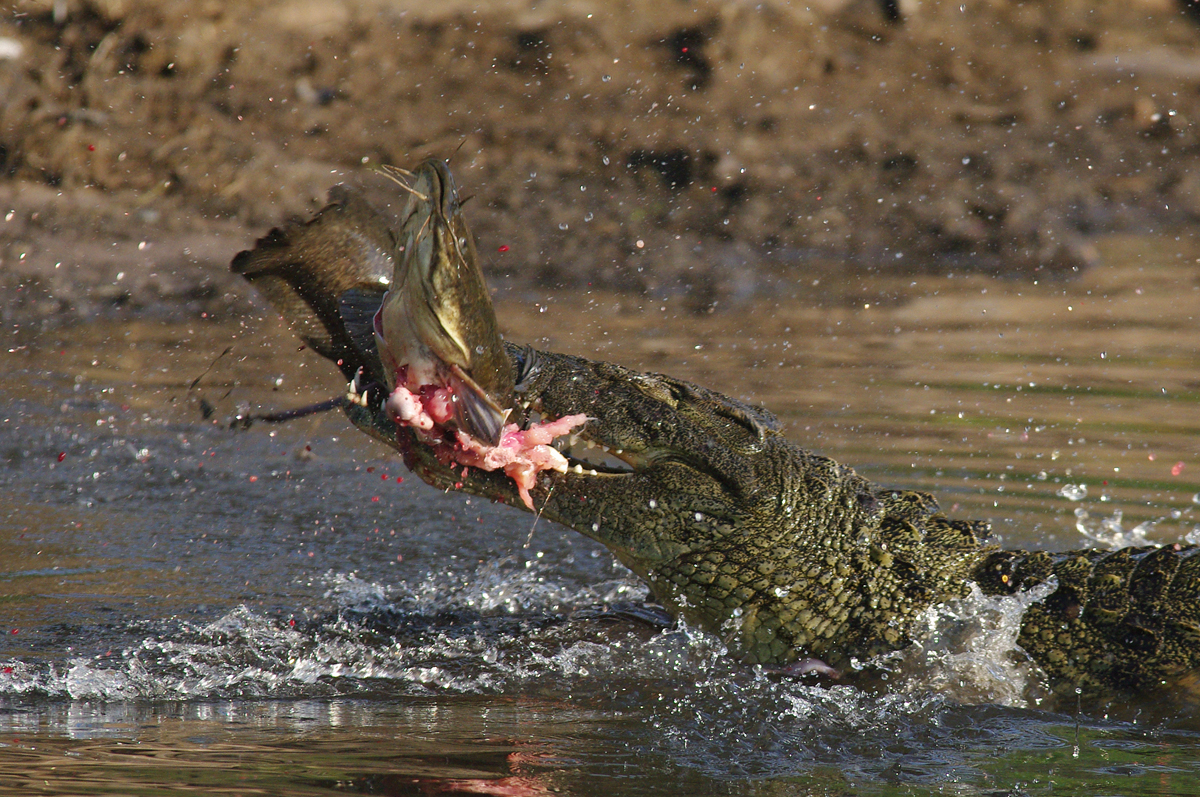 """Krokodil II """"Natur"""""""