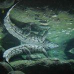 Krokodil im Spiegel