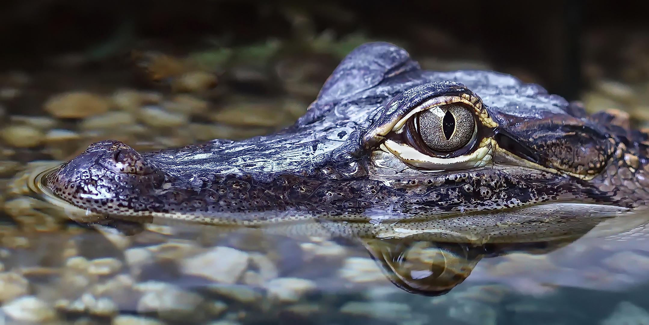 Krokodil Portrait