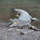 Krokodil (Süsswasser)