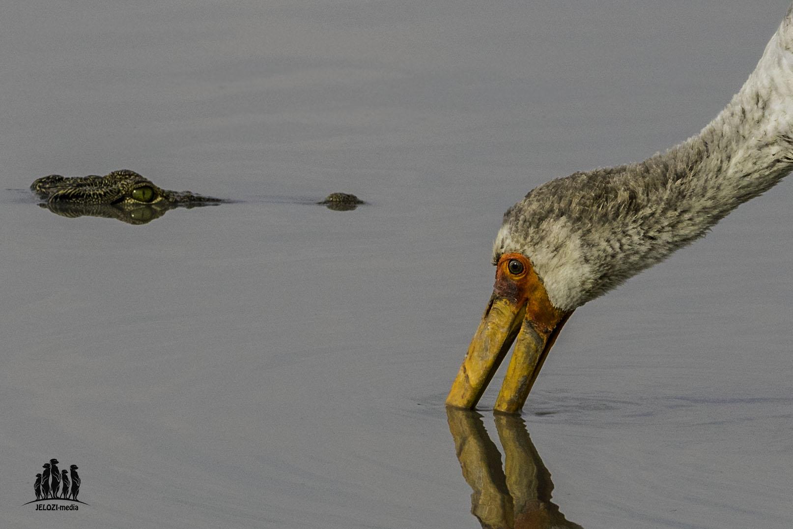 Krokodil und Nimmersatt