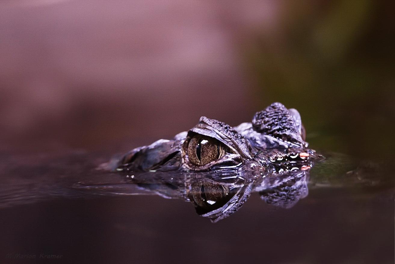 Krokodilauge mit Spiegelung