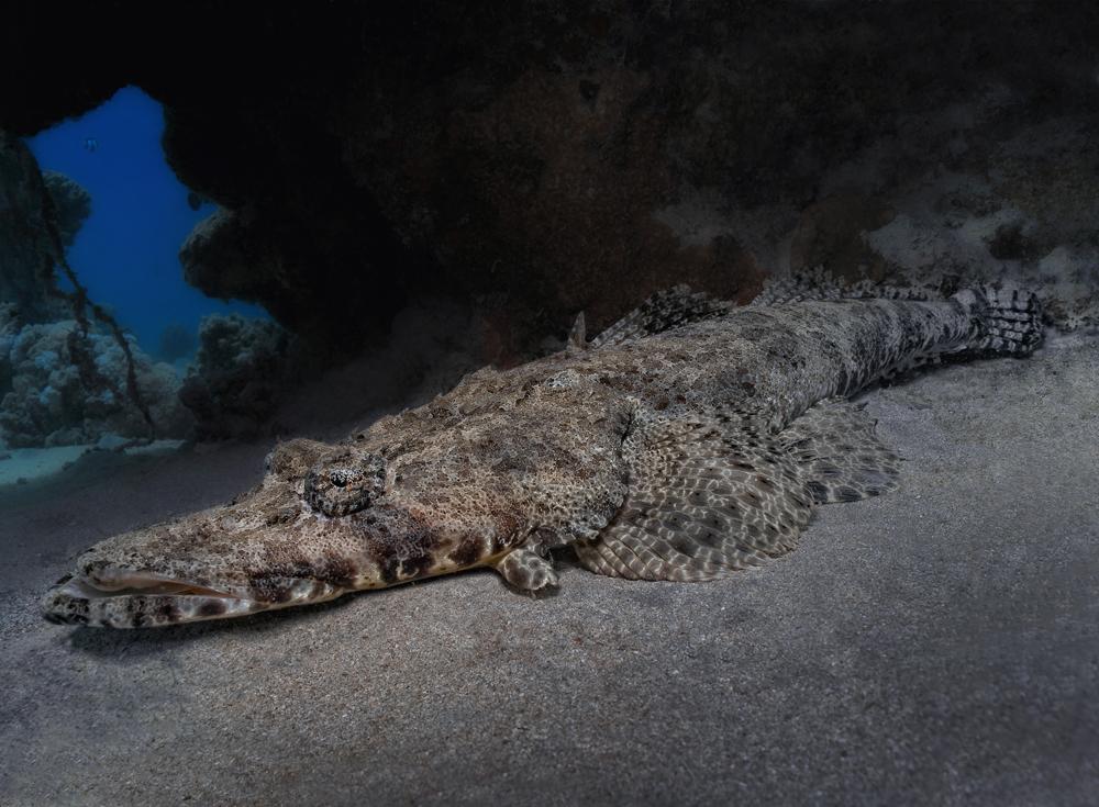 Krokodilfisch