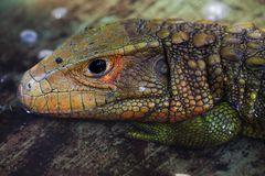 Krokodilteju (Dracaena guianensis)