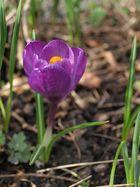Krokus als Frühlingsgruß