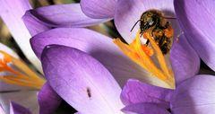 Krokus Biene