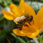 Krokus- Biene