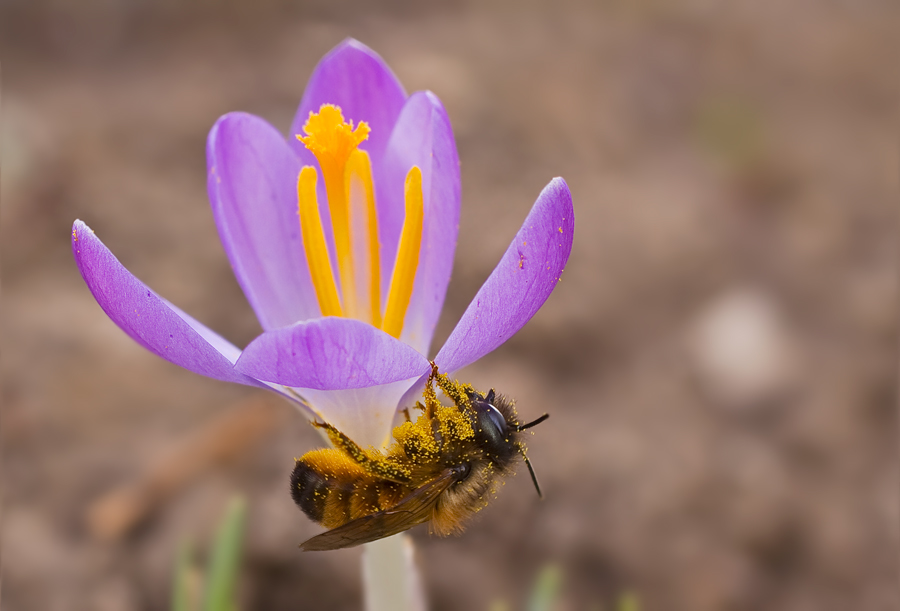 Krokus mit Biene