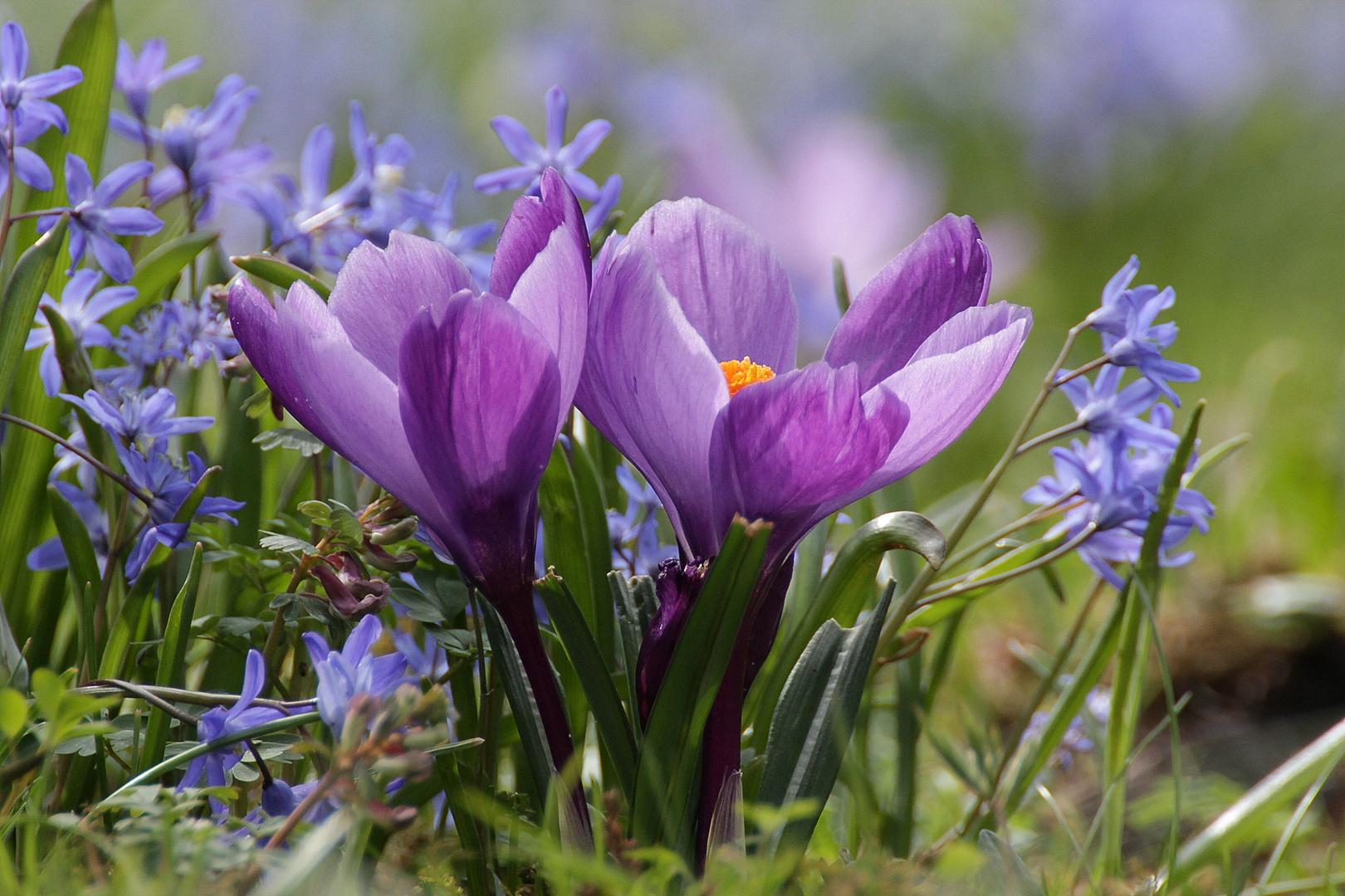 Krokus und Blaustern (Scilla)