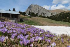 Krokusblüte in Hafling