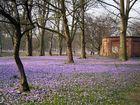 Krokusblüte in Husumer Schloßpark