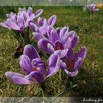 Krokuss-Blüte in unserem Garten