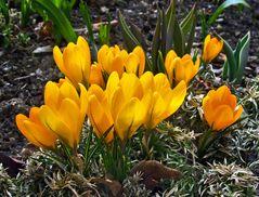 Krokusse begrüßen den Frühling!