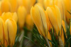 Krokusse bilden einen gelben Frühlingsteppich