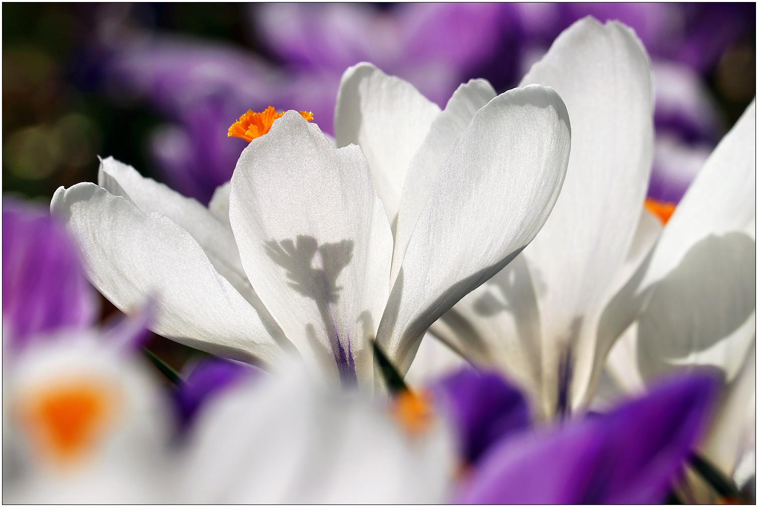 Krokusse in der Frühlingssonne...