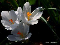 Krokusse in voller Blüte (2)
