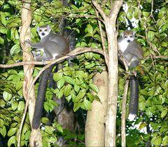 Kronen-Lemuren