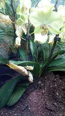 Kronenfangschrecke getarnt als eine Orchidee