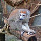 Kronenmaki im Zoo Mulhouse