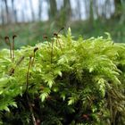 Krückenförmiges Kurzbüchsenmoos (Brachythecium rutabulum)