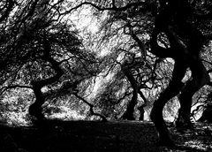 Krüppelbuchen im Hexenwald