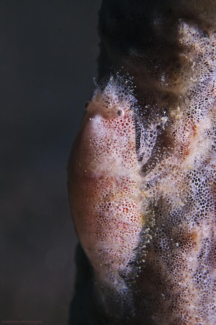 Kryptische Schwamm-Garnele