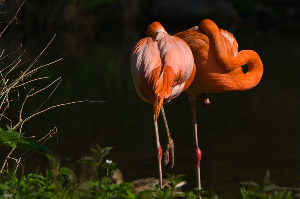 Kuba Flamingo