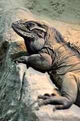 Kuba - Wirbelschwanz-Leguan