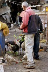 Kubanische Massentierhaltung von Puten. Handfütterung