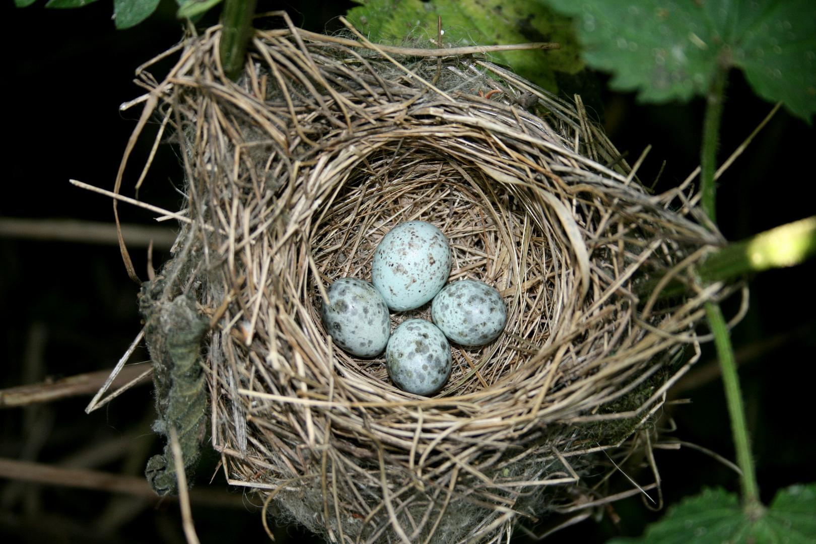 Kuckucks-Ei im Sumpfrohrsängernest