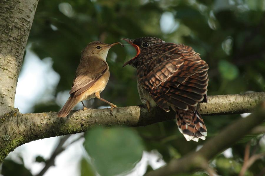 Kuckuckskind Foto & Bild   tiere, wildlife, wild lebende