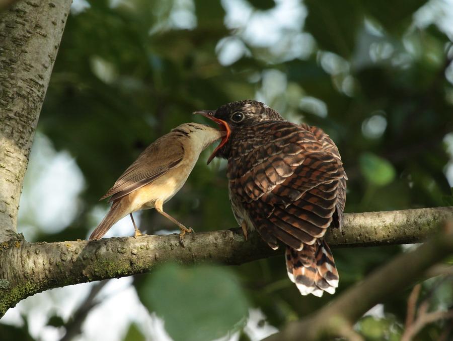Kuckuckskind hat Hunger Foto & Bild   tiere, wildlife