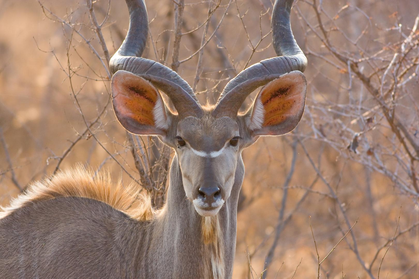 Kudu Antilope