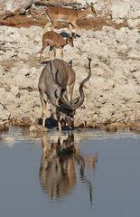 Kudu Bulle am Wasserloch