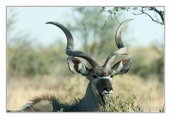 Kudu-Bulle