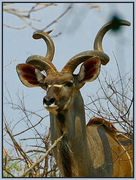 Kudu - Portrait