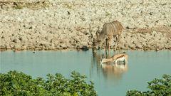 Kudu & Springbock