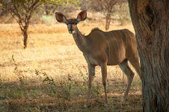 Kudu Weibchen