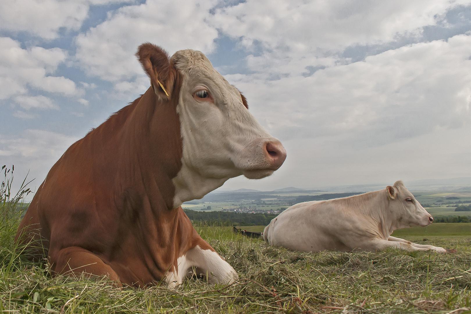 Kühe am morgen erwarten den Tag