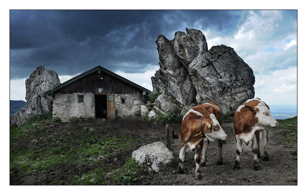 Kühe auf der Kampenwand