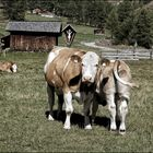 Kühe für Vinci