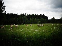 """Kühe im """"Auenland"""""""