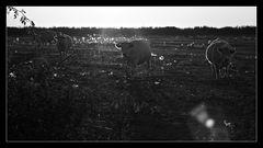 - Kühe im Gegenlicht -
