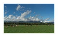 Kühe im Herbstwind