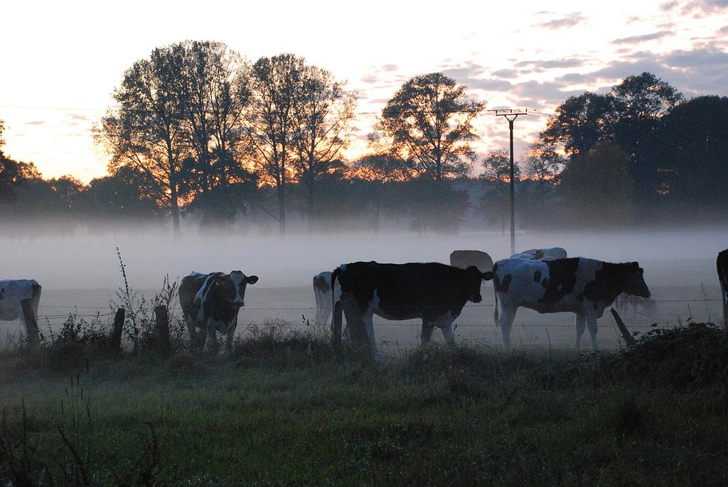 Kühe im Nebel am Niederrhein