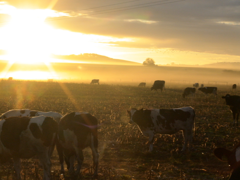 Kühe im Sonnenaufgang
